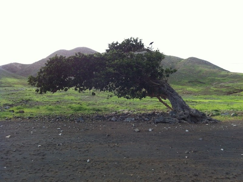 maio cape verde old fig tree