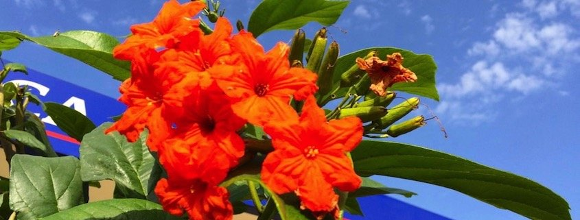 Orange flower on island of Santiago