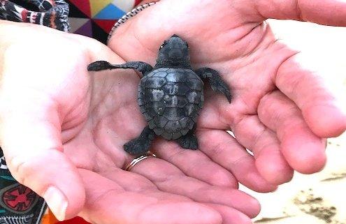Baby turtles on Maio