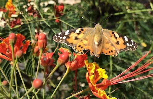 Butterfly on Maio