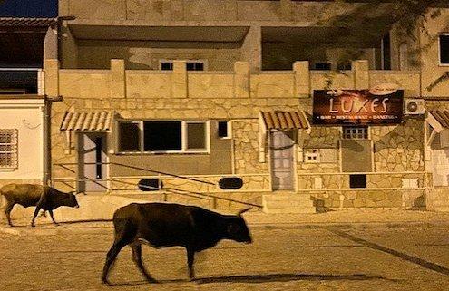 Cows in Vila do Maio