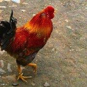 Chicken in Maio